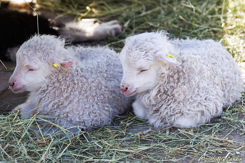 Lammen sussar sött