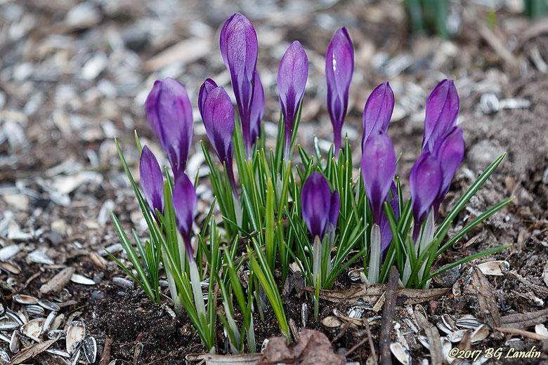 En grupp lila vårkrokus