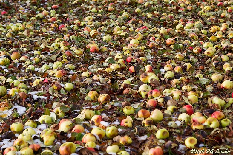 Massor av äpplen