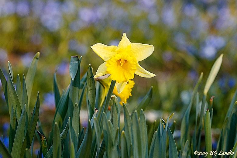 En härlig Narcissus