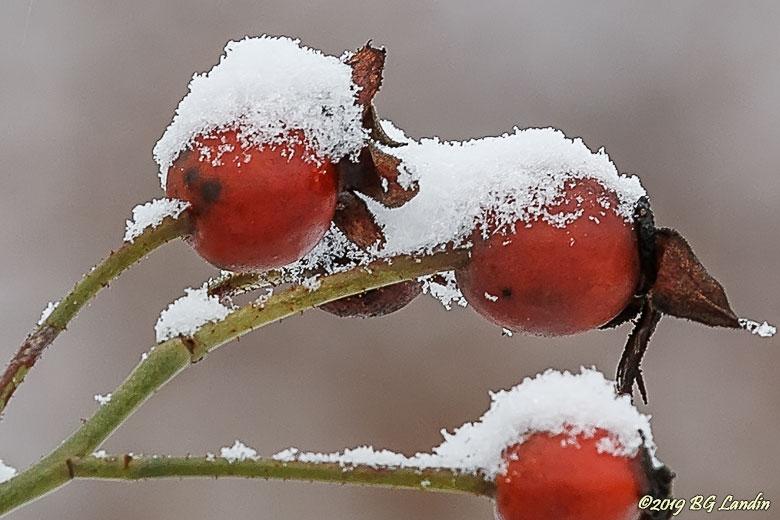 Nypon med snömössa
