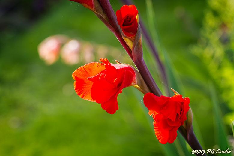 Röda sköna blommor