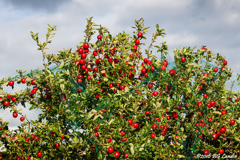 Många röda äpplen