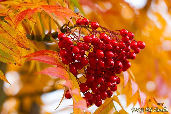 Röda rönnbär