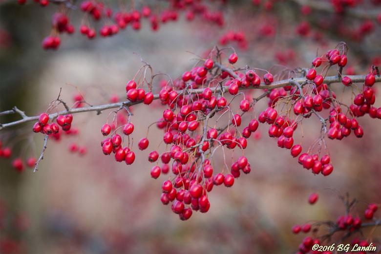 Massor av rundhagtornsbär
