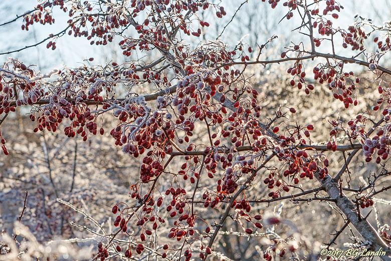 Massor av rundhagtornsfrukter