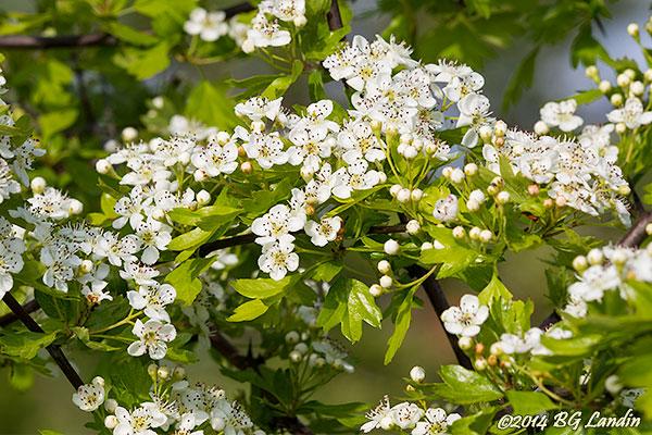 Blommor på rundhagtorn