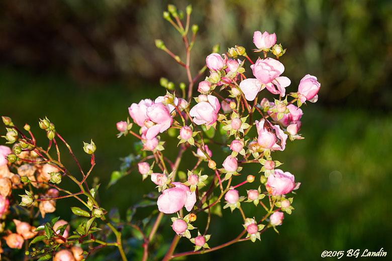 Sent blommande rosor