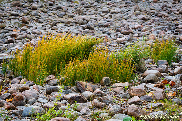 Sjögräs i stenig miljö