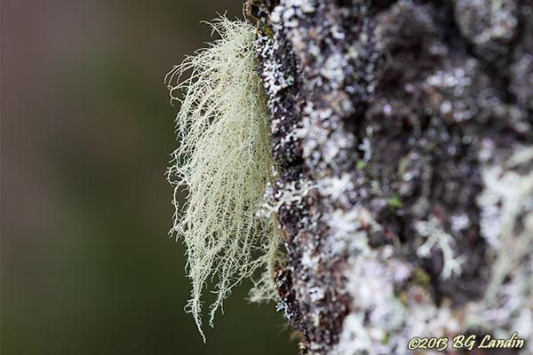 Usnea filipendula - Vanlig skägglav