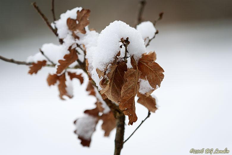 Snödekorerade eklöv