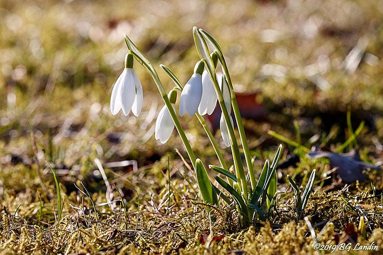 Snödroppen, en tidig vårblomma