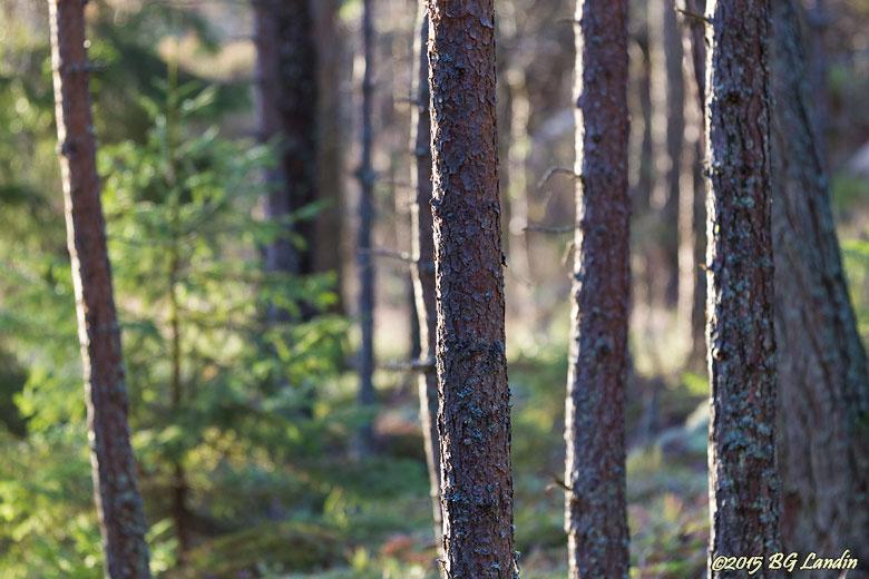 Snöfritt i decemberskogen
