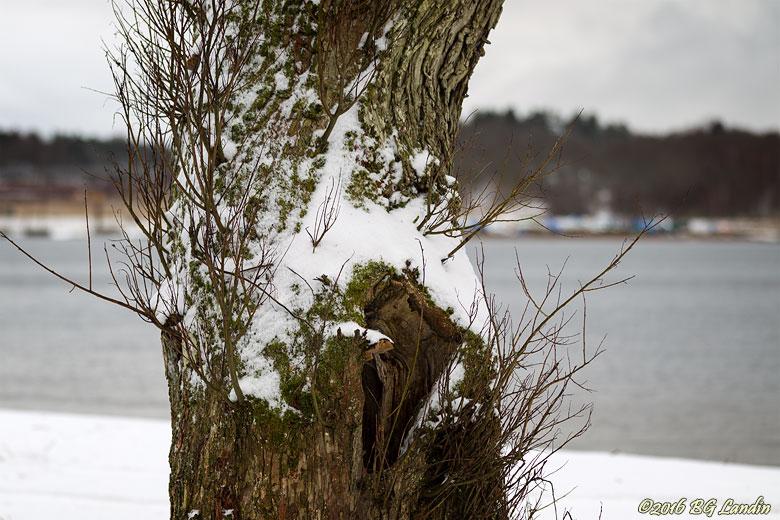 Snöpudrad trästam