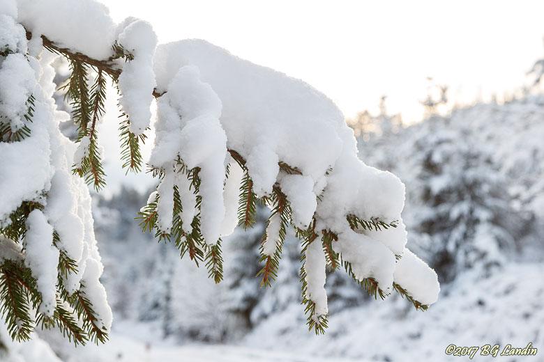 Snötyngd grangren