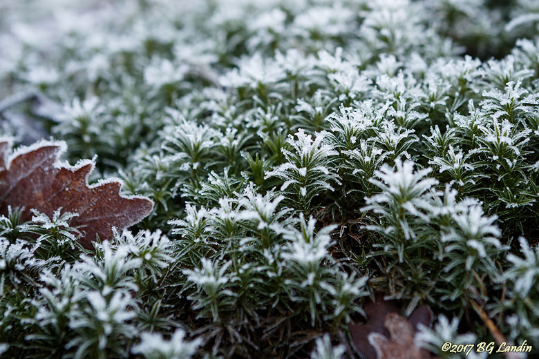 Frostdekorerad stjärnmossa
