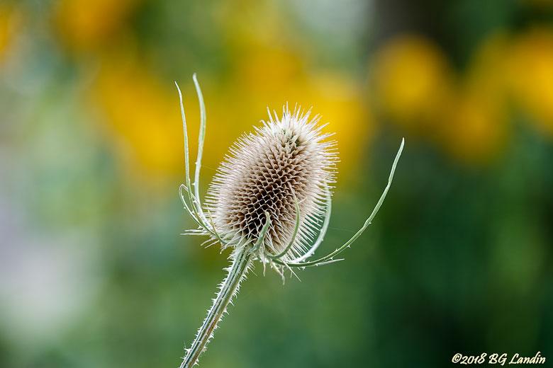 Blomställning hos tistel