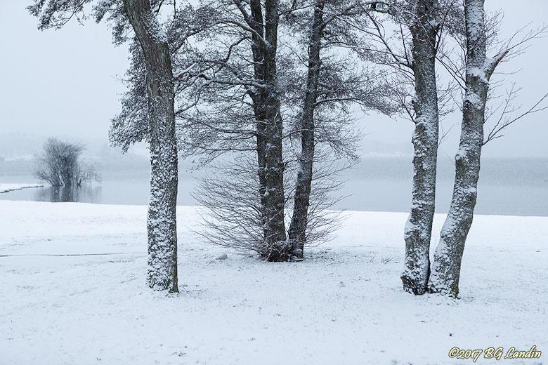 Träd i vinterdräkt