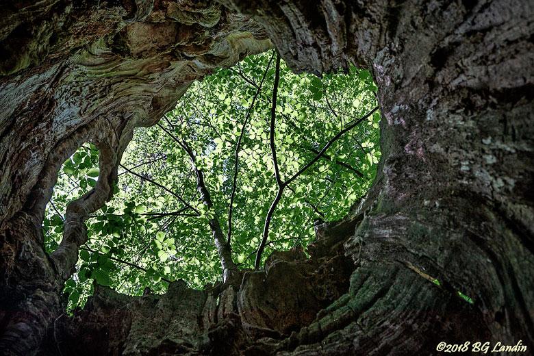 Utsikt inifrån ett träd