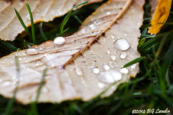 Vattendroppar på kastanjeblad