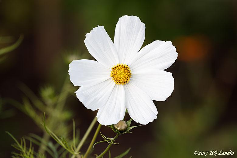 Vega White