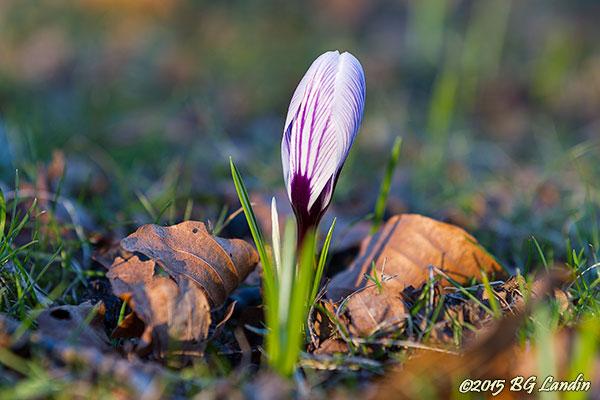 Vit med violetta ränder