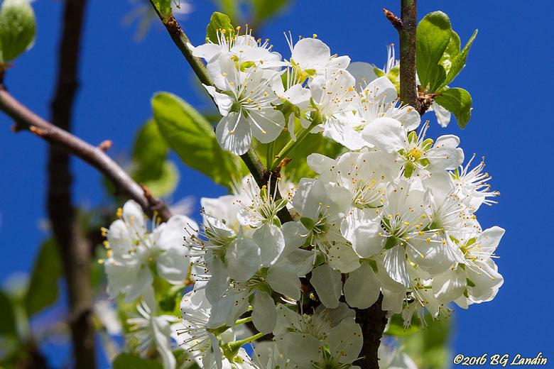 Vita äppelblommar
