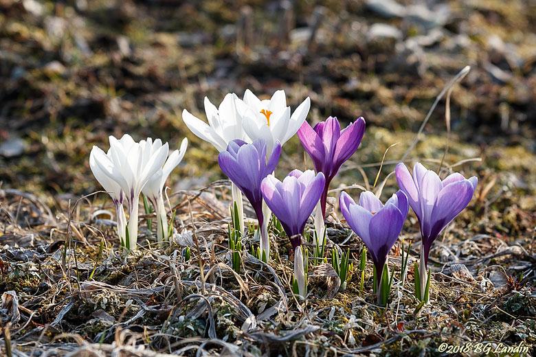 Vita och blålila vårtecken