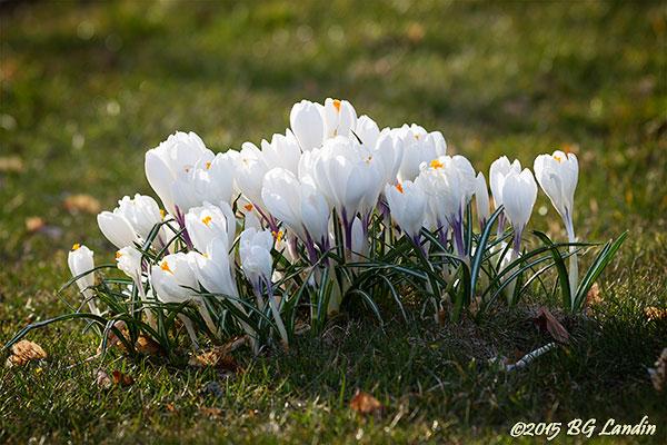 Vita vårkrokusar