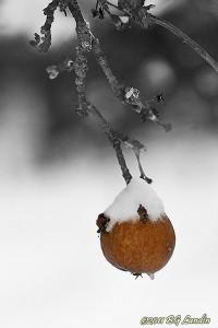 Vinteräpple