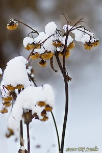 Snötäckta gula blomsterbollar