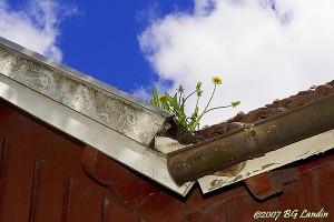 Det blommar på taket på Brobacka Missionshus