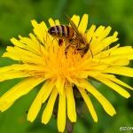 Flitig som ett bi