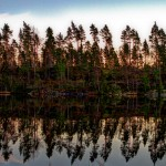 Tallar vid Bäsjön