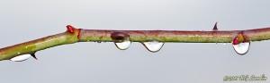 Vattendroppar på rosenkvist