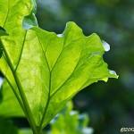 Solbelysta rabarberblad