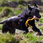 Vattendränkt labrador