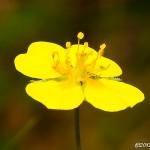 Den gula blodroten