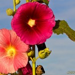 Färgstarka blommor