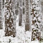 Snöiga tallstammar