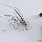 Grässtrån i snödriva